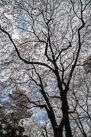 There are over one hundred types of cherry tree varieties. A few species are wild varieties native to Japan's forests, such as the Yamazakura. However, the majority of them have been cultivated by humans over the centuries.  The most popular cherry tree variety today is Somei Yoshino.
