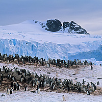 Gentoo penguins stand below a glacier in a snowy rookery  on Cuverville Island, Antarctica.