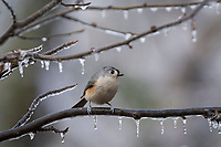 Tufted Titmouse ( Baeolophus bicolor)