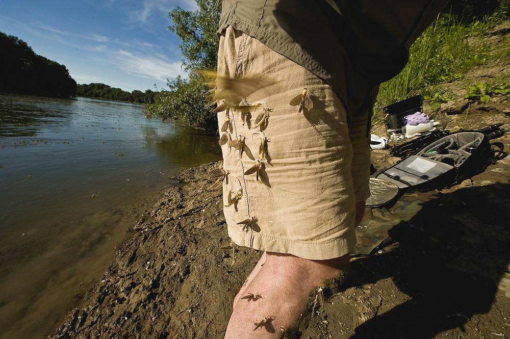 Mayflys (Palingenia Longicauda)on the legs of the photographer, Milan Radisics, June 2009. the river Tisza, Hungary