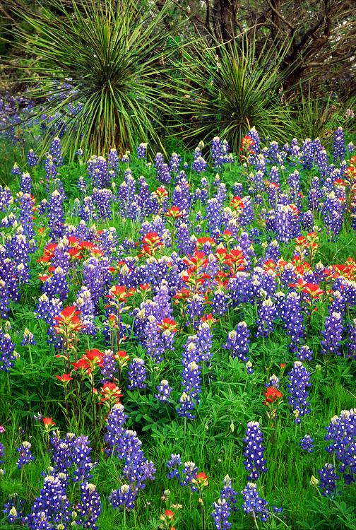 Wildflowers along the Willow City Loop, near Fredricksburg, Texas