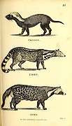 Civet, Zibet and grison from General zoology, or, Systematic natural history Part I, by Shaw, George, 1751-1813; Stephens, James Francis, 1792-1853; Heath, Charles, 1785-1848, engraver; Griffith, Mrs., engraver; Chappelow. Copperplate Printed in London in 1800. Probably the artists never saw a live specimen