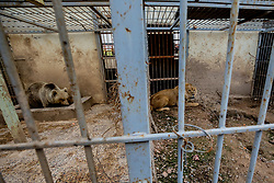 March 30, 2017 - Mosul, Nineveh Province, Iraq - LULA and SIMBA in their cages while the veterinarians wait for the drugs to take effect. A lion and a bear, just rescued from Mosul's zoo, are prepared to fly to safety outside Iraq and into Erbil, Kurdistan. The two animals nearly starved to death in their cages while battle raged around them in the Iraqi city earlier this year. Several other animals at the zoo died from neglect but these two were finally rescued by the animal charity Four Paws. (Credit Image: © Gabriel Romero via ZUMA Wire)