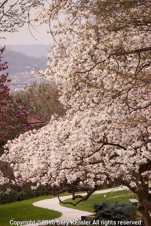 Magnolia and Dogwood Trees, Eden Park, Cincinnati, OH