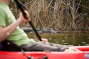 Zach Podell-Eberhardt kayaks past an American alligator (Alligator mississippiensis) in Everglades National Park, Florida.