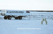Polar Bears  (Ursus maritimus) sparring near Tundra Buggy, Churchill MB