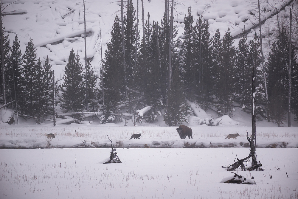 Members of the Wapiti Pack of wolves check out a bison.