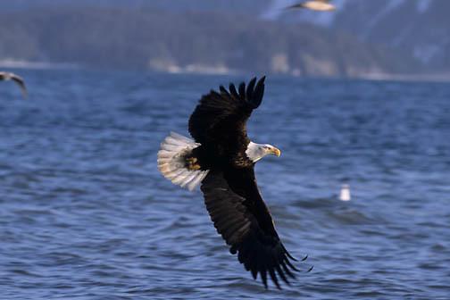 Bald Eagle (Haliaeetus leucocephalus) adult in flight over the Aleutian Islands of Alaska.