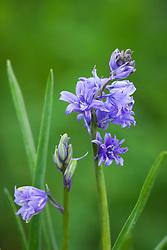 Hyacinthoides non-scripta. Double bluebell