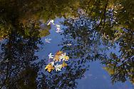 Salisbury Mills, New York  - Autumn leaves float in the Moodna Creek on Oct. 5, 2013.
