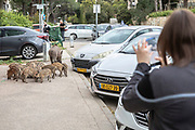 A woman takes a photo of a wild boar sow and her piglets in a street Haifa, Israel, April 09, 2021. Several neighborhoods in the northern Israeli city are being visited by families of wild boars. Many of the animals felt safer to come out of the Carmel woods surrounding the city in search for food, as most people were confined to their homes due to covid-19 lockdowns. As Israel slowly returned to normal life, following a large scale vaccination operation, human and animal encounters became more and more common.