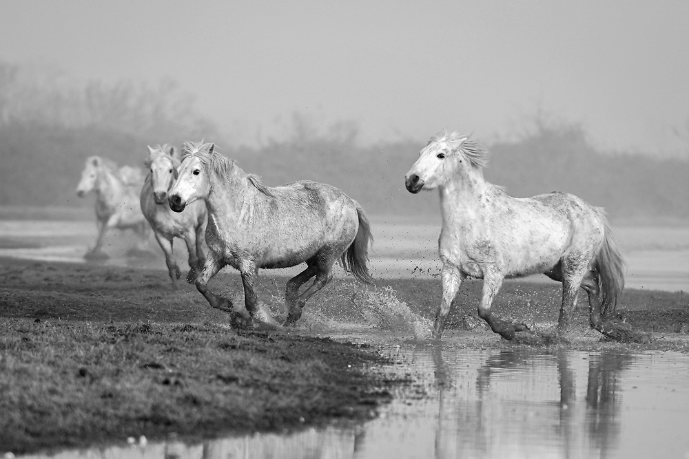 Cona Island, Italy. Camargue horses <br /> <br /> High Quality Fine Art Prints <br /> <br /> <br /> 20 x 30 cm - Numbered Limited Edition of 25 <br /> 30 x 45 cm - Numbered Limited Edition of 25 <br /> 50 x 75 cm - Numbered Limited Edition of 12<br /> <br /> Printed at professional lab in Milan on Hahnemühle Photo Rag papers.<br /> <br /> They all come signed and numbered.<br /> <br /> Frame NOT included.<br />  <br /> Shipment<br /> Make sure that the address of delivery is correct and that you have given all the elements necessary to identify the exact delivery address (name/number on the intercom, preferred delivery times, staircase, unit/suite, mobile phone number for quick contact, etc).<br /> Once the print is ready, It will be shipped via courier and you will receive a tracking number. Please allow up to one week to fulfil the order plus 2 to 5 business days for delivery (depending on location).<br /> <br /> Handling the print <br /> On receipt, take care in removing it from the cardboard or the tube. I recommend that you take it straight to a framer to ensure optimal condition. Each print has a white paper border to allow the framer to handle the print and for protection during transport.<br /> <br /> Prices<br /> Pricing is for print only. Frame is only for illustration purpose and NOT included. Sizes other than those listed are available on request. Framing options are also available on request. As these are Limited Editions, prices may rise as availability decreases.<br /> <br /> Returns<br /> In the unfortunate event that the print arrives damaged (and that you can show that it was damaged before arrival), please make contact and send it back to me within 14 days, I will replace it on receipt of the damaged print back to me.<br /> <br /> Message me for questions about crops, sizes, papers, prints, deliveries or framing. <br /> Email: pcruciatti@gmail.com or whatsapp +39.335.6263208