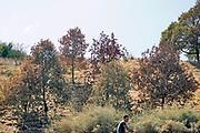 Nederland, The Netherlands, Nijmegen, 31-7-2018Door de aanhoudende droogte en hitte heeft de natuur het moeilijk zoals hier in het bosgebied Heumensoord . Veel planten en bomen verdorren en sterven af . De lijsterbes met verdroogde vruchten, besjes, blad van bomen hangt omlaag of vergeeld . Foto: Flip Franssen