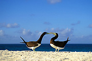 brown boobies courting, Sula leucogaster, Sand Cay, Flinders Reef, Australia ( Coral Sea )