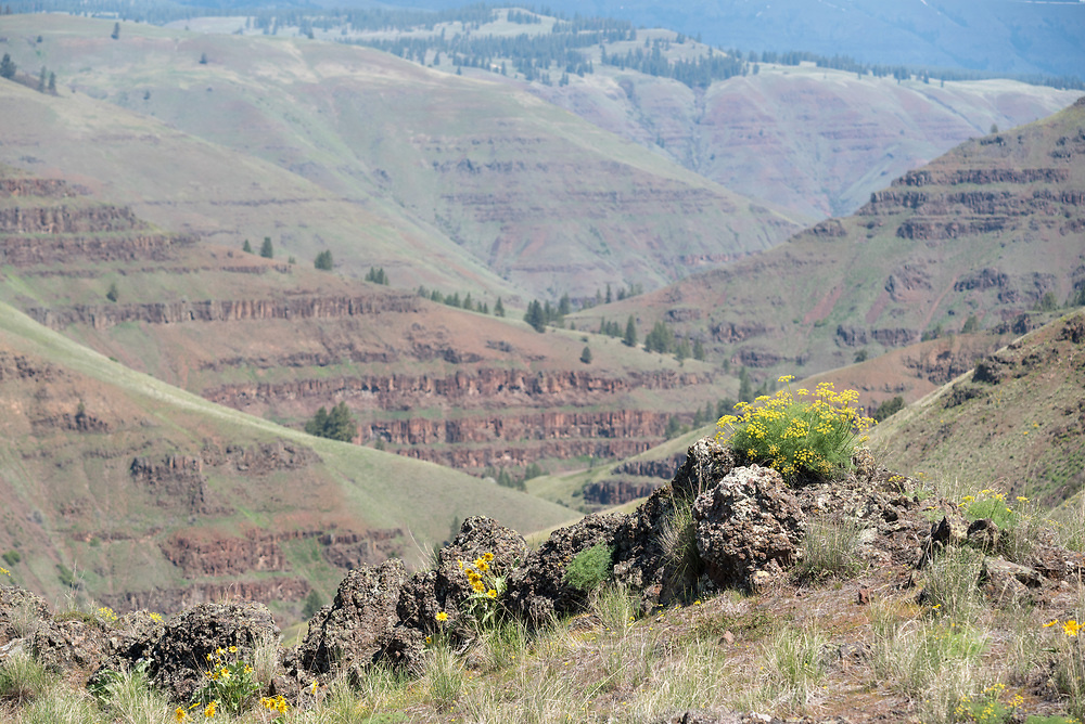Lomatium and balsamroot blooming on a ridge above Oregon's Grande Ronde River.