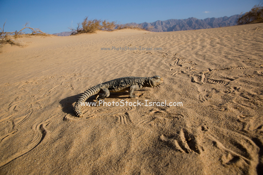 Egyptian Mastigure (Uromastyx aegyptia), AKA Leptien's Mastigure, or Egyptian dab lizard. Egyptian Mastigures can be found in Egypt, Libya and throughout the Middle East. Photographed in Israel in December