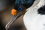 Portrait of an Imperial shag, Leucocarbo atriceps.