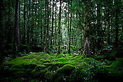 Japan, Yakushima - a moss carpet in front of some cedar trees.