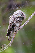 Great grey owl shaking the water from its wings during a rain, Grand Teton National Park, Wyoming