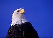 Image of a bald eagle portrait on the Kenai Peninsula, Alaska, the bald eagle is a bird of prey and national bird and symbol of the United States of America by Cordova Alaska born Randy Wells