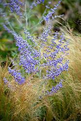 Perovskia 'Blue Spire' syn. Perovskia atriplicifolia 'Blue Spire', Perovskia hybrida 'Blue Spire'