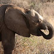 African Elephant (Loxodanta africana) drinking water in Samburu Game Reserve. Kenya, Africa.