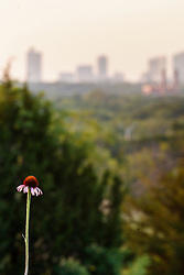 Purple coneflower (Echinacea angustifolia) on remnant prairie, Stella Rowan Prairie, Fort Worth, Texas USA.