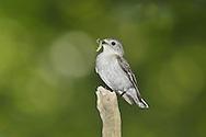 Collared Flycatcher - Ficedula albicollis