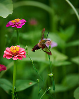 Clerawing Hummingbird Moth in Flight. Image taken with a Nikon D850 camera and 300 mm f/4 lens