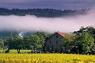 Morning fog over vineyards at Ehlers Estate Winery, near St. Helena, Napa County, California