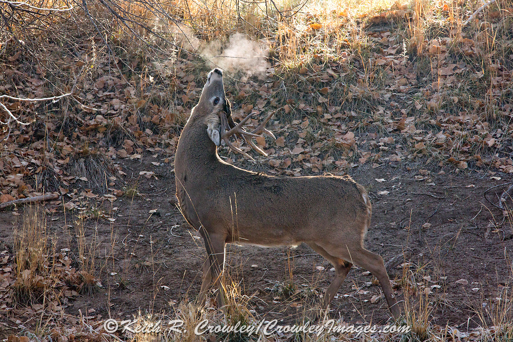 A whitetail buck sniffs a branch at a scrape as his breath is back-lit by the rising sun.