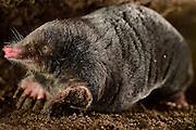 [captive] European Mole (Talpa europaea) in its subterranean burrow. Kiel, Germany | Maulwurf (Talpa europaea) in seinem unterirdischen Gang. Kiel, Deutschland
