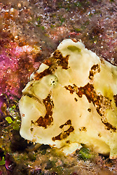 Commerson's frogfish, Antennarius commerson, Lanai, Hawaii, USA, Pacific Ocean