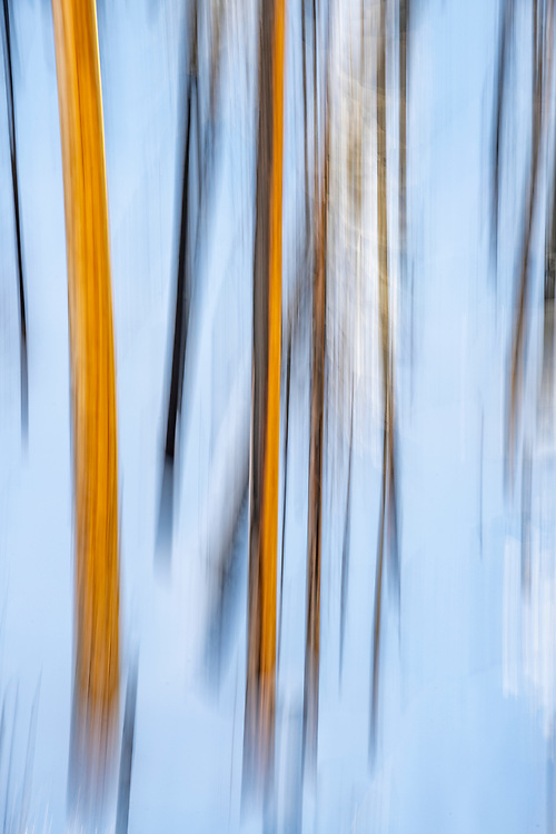 Limited Editions of 8<br /> Golden Trunks of Ponderosa Pine Trees, Vertical Blurs near Idaho City.