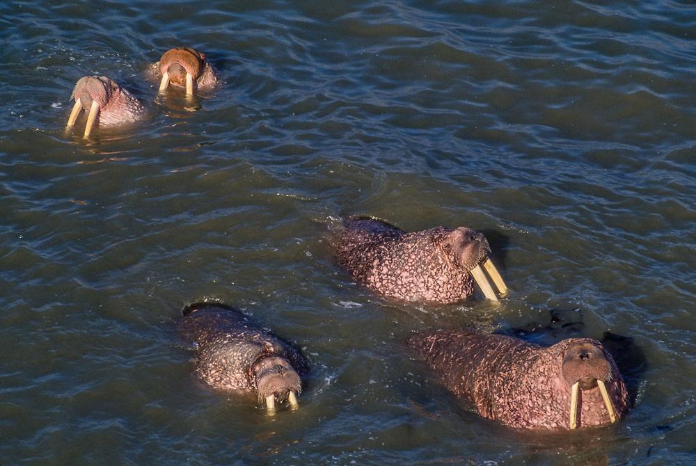 Pacific walrus (Odobenus rosmarus), Arakamchechen Island, Senyavina Strait, Bering Sea, Northeast Russia