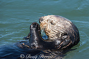 California sea otter or southern sea otter, Enhydra lutris nereis ( threatened species ), Elkhorn Slough, Moss Landing, California, United States ( Eastern Pacific )
