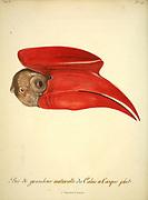 Calao à casque plat Buceros hydrocorax - Rufous Hornbill from the Book Histoire naturelle des oiseaux d'Afrique [Natural History of birds of Africa] Volume 5, by Le Vaillant, Francois, 1753-1824; Publish in Paris by Chez J.J. Fuchs, libraire 1799