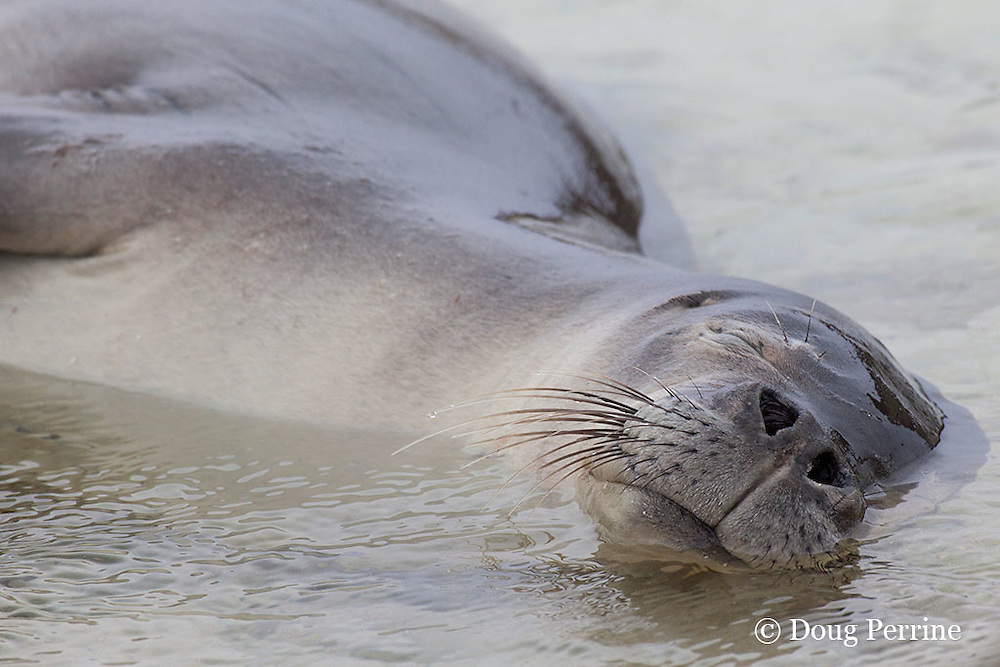 Hawaiian monk seal, Monachus schauinslandi, sleeping in shallow water, showing mystacial vibrissae, or whiskers, sensory hairs or bristles on the snout;<br /> Critically Endangered Species, Sand Island, Midway, Atoll, Midway Atoll National Wildlife Refuge, Papahanaumokuakea Marine National Monument, Northwest Hawaiian Islands  ( Central North Pacific Ocean )