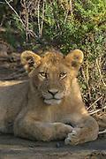Lion cub, Serengeti National Park