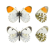 Orange-tip - Anthocharis cardamines. Male (top) - female (bottom). Wingspan 40mm. A familiar spring butterfly, males of which are unmistakable. Adult has rounded wings. Forewing is dark-tipped but male has an adjacent orange patch. Underside of hindwing of both sexes is marbled green and white. Adult flies April–June. Larva is green with whitish counter shading; feeds mainly on Cuckoo-flower. Widespread in southern Britain and Ireland; associated with open woodland, verges, and rural gardens.