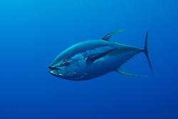Yelllowfin Tuna, Thunnus albacares, Roca Partida, Revillagigedo Archipelago, Mexico, Pacific Ocean