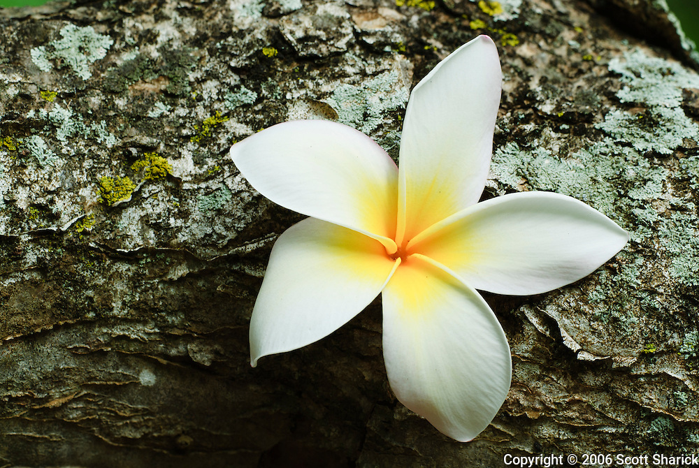 A white and yellow plumeria sits on a moss covered log in the Koko Crater Botanical Garden in Hawaii Kai