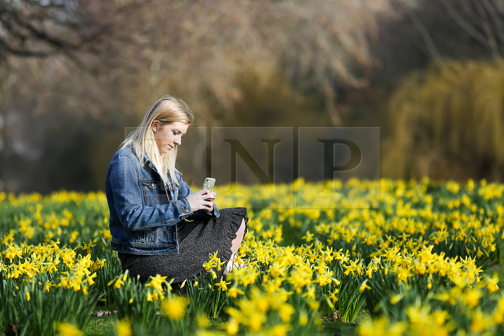 © Licensed to London News Pictures. 07/02/2020. London, UK. JAYNIE CORLISS takes photographs of the Daffodils as they start to bloom in St James's Park. Photo credit: Dinendra Haria/LNP