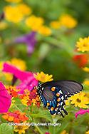 03004-01009 Pipevine Swallowtail (Battus philenor) on Red Spread Lantana (Lantana camara) in butterfly garden, Marion Co.  IL