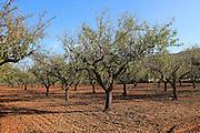 Almond trees winter landscape, Lliber, Marina Alta, Alicante province, Spain