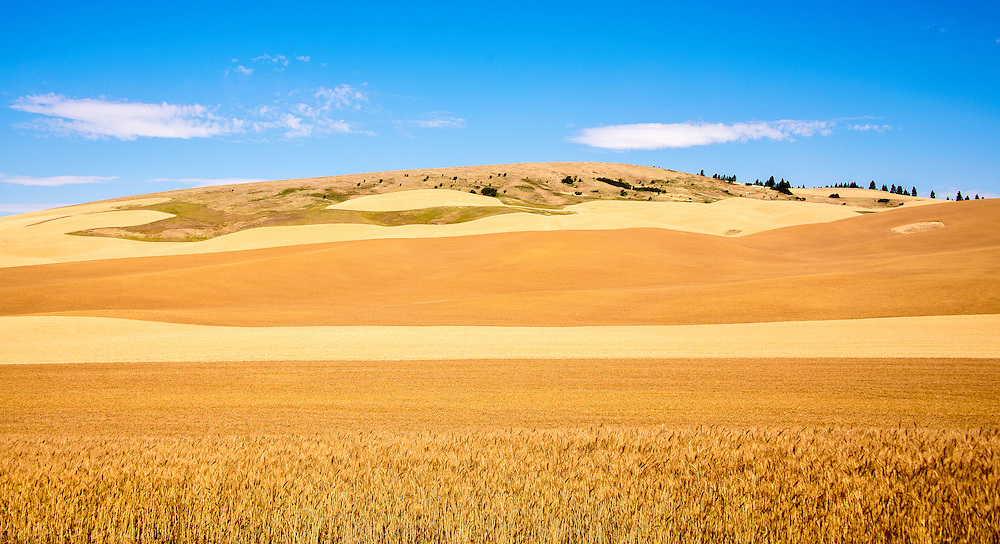 Different strains of wheat and harvest patterns provide textured layers on a hillside capped by scrub and scattered conifers. The winds on the Palouse blow hard and frequently, taking topsoil from hilltops leaving a different habitat for birds, deer and small mammals,