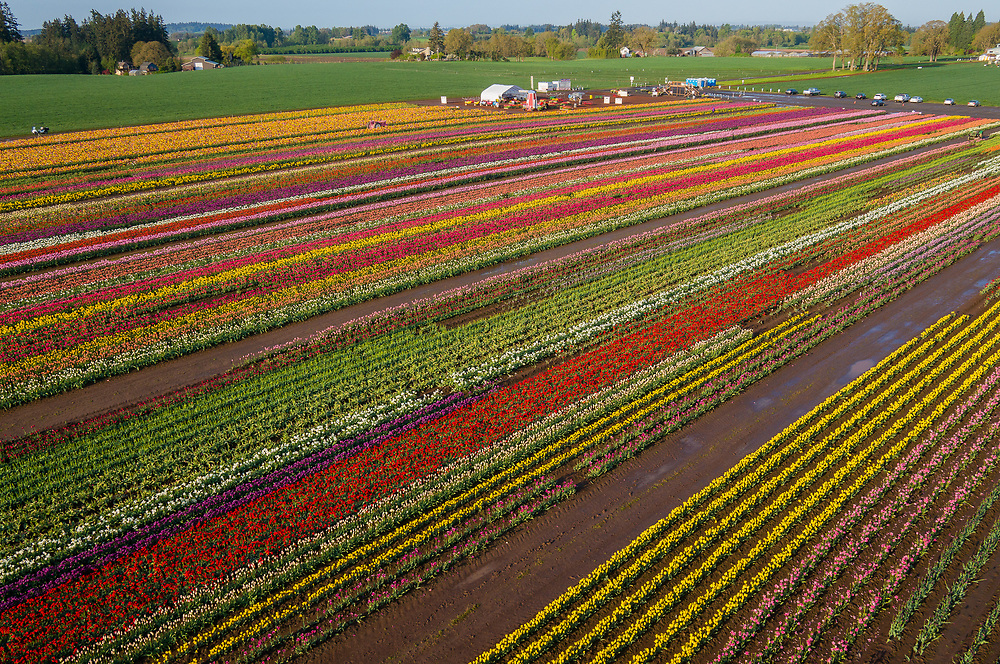 The rainbow colored fields of the Wooden Shoe Tulip Farm in Woodburn, Oregon,  offer spectacular subject matter for aerial drone photography. ©Ric Ergenbright