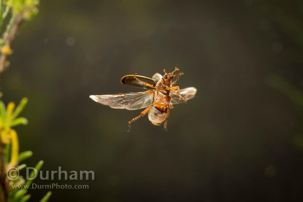 Golden scarab beetle in flight. Species uncertain. Central oregon. © Michael Durham.