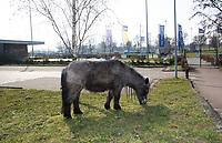 WEESP - Ook de velden van de MHC WEESP zijn afgesloten ivm Coronavirus. ….. Het paard van de buren laat zichzelf uit. COPYRIGHT KOEN SUYK
