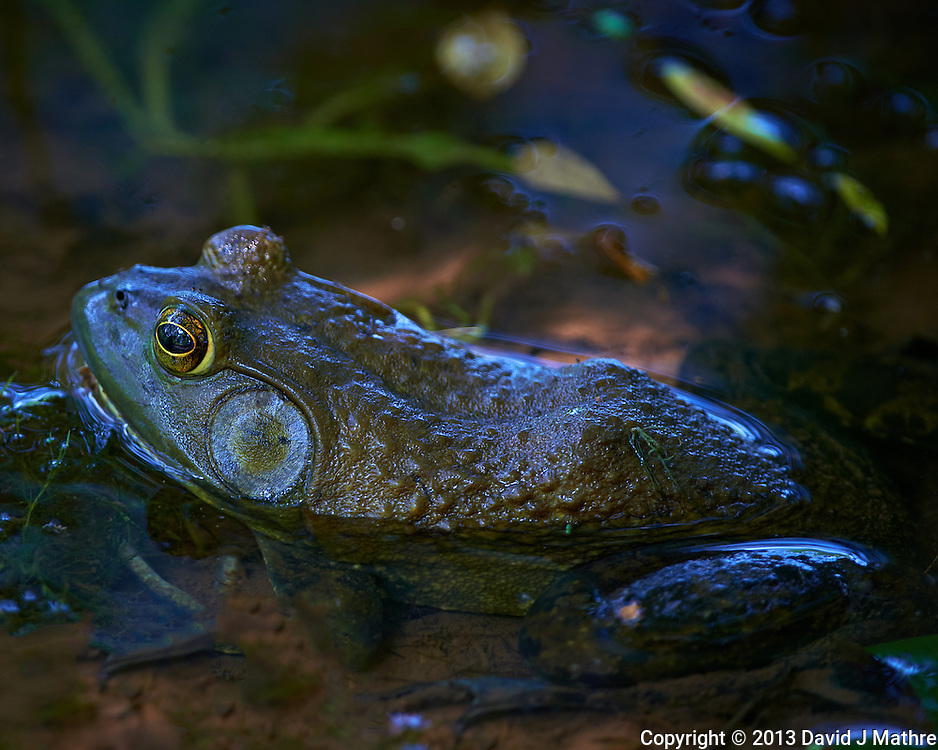 Kermit the Bull Frog in a Pond in the Sourland Mountain Preserve. Summer Nature in New Jersey. Image taken with a Nikon D800 and 500 mm f/4 VR lens (ISO 560, 500 mm, f/4, 1/200 sec).